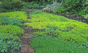 Planting groundcover plants